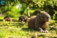 A capivara: simpático roedor