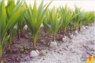 Como produzir mudas de coco anão facilmente em casa