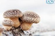 Produção de cogumelos comestíveis: investimento simples, mas cultivo delicado