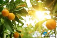 9 dúvidas sobre a laranja e as laranjeiras