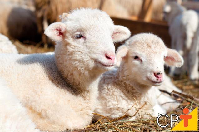 Criação de ovinos: o que pode atrapalhar o crescimento dos cordeiros?   Dicas Cursos CPT