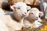 O que pode atrapalhar o crescimento dos cordeiros?