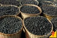 Pesquisadora da Embrapa dá a dica para quem quer plantar açaí
