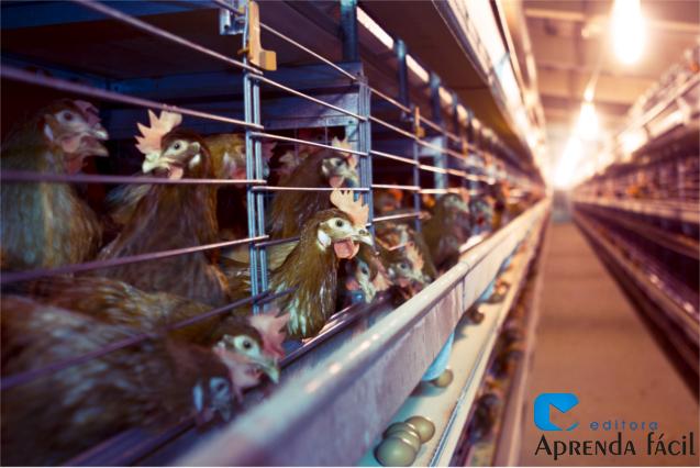 Galinhas poedeiras - avicultura