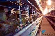 28 de agosto – Dia da Avicultura