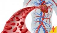 Sistema circulatório: você sabe o que o compõe e qual a sua função?