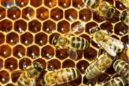 Curiosidades sobre as abelhas e as colmeias