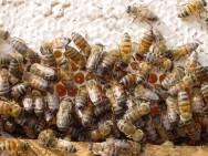 Os valores do mel para exportação são também um atrativo para que outros apicultores possam se integrar às cooperativas.