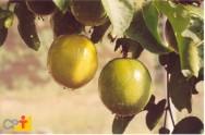 Dicas para o cultivo de maracujá