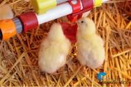 Manejo de frango de corte: da instalação do aviário à apanha