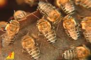Passo a passo para criar abelhas sem ferrão