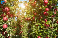 As plantas frutíferas e o meio ambiente: a temperatura