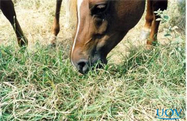 Cavalo se alimentando
