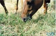 Saiba as vantagens do manejo nutricional de cavalos