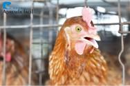 Doenças das aves – a coriza infecciosa