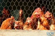 Piolho de galinha: como evitar infestações