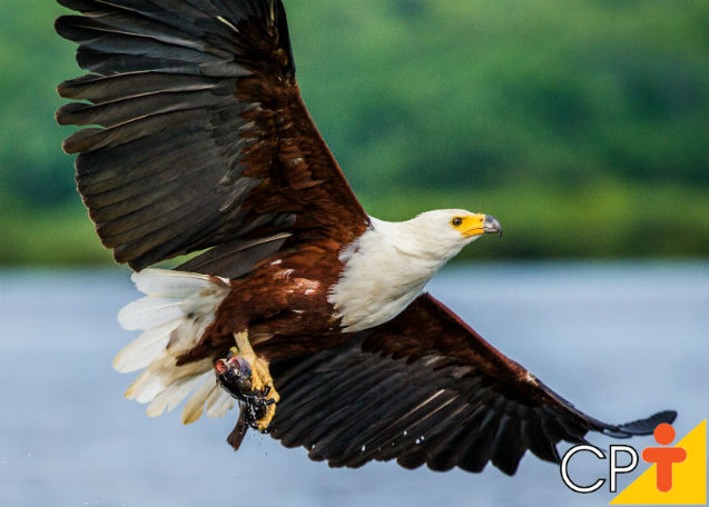 Para refletir: Águia e a galinha   Para Refletir  Cursos CPT