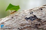 O problema das formigas para o Eucalipto