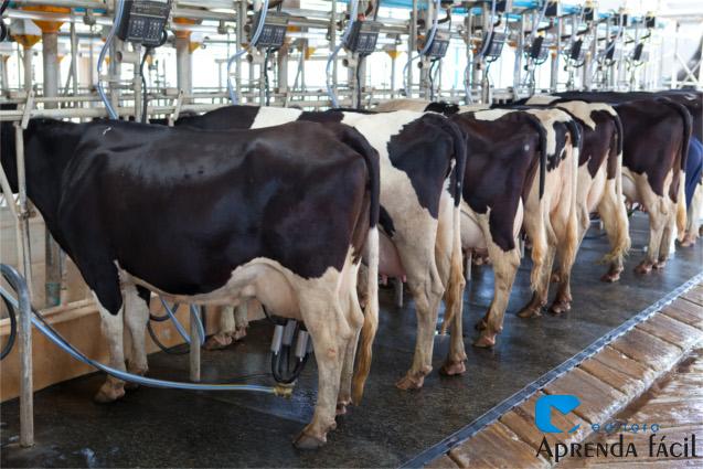 Vacas sendo ordenhadas mecanicamente