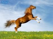 Breve história do Mangalarga – principal cavalo de sela do mundo
