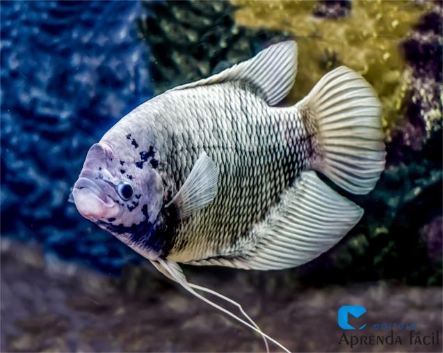 Peixe tilápia
