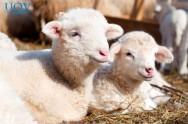 Saiba como evitar ectoparasitoses na criação de ovinos