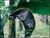 Sigatoka negra é a doença mais destrutiva do cultivo de banana