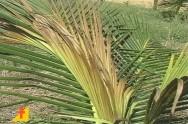 Saiba mais sobre a queima das folhas do coqueiro