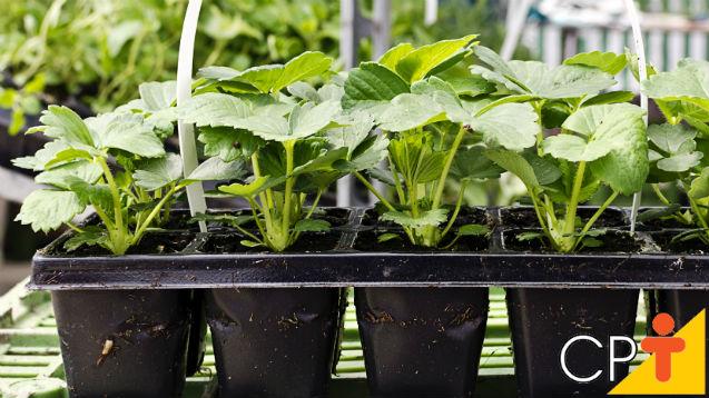 Repicagem de mudas frutíferas. O que é isso?   Artigos Cursos CPT