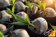 Mudas de coco-anão: aprenda a fazer