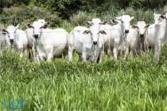 O bem-estar tem influência no resultado da criação de bovinos