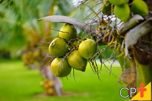 Polinização artificial controlada do coqueiro anão: como fazer   Artigos Cursos CPT