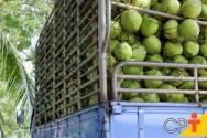 8 dicas de sucesso para quem quer duplicar a produção de coco