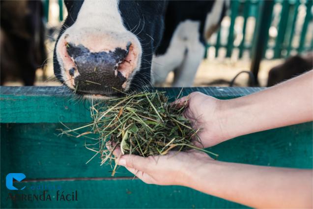 Vaca sendo alimentada