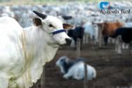 4ª edição atualizada do Livro Confinamento de Bovinos na Pecuária de Corte