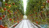 Cultivo de tomate em estufa é uma ótima opção