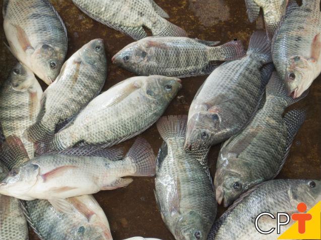 Por que cultivar tilápia-do-nilo nas pisciculturas?   Dicas Cursos CPT