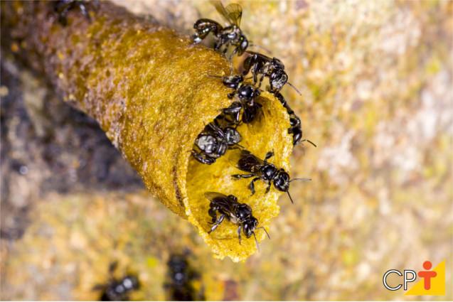 Espécie de abelha sem ferrão