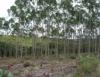 Cultivo de eucalipto pode usar fertilizante ambientalmente correto