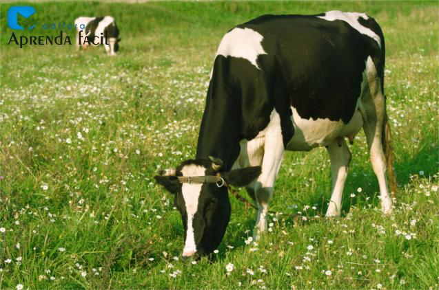 Novilha leiteira