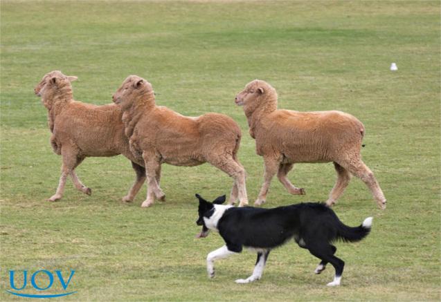 Cão realizando pastoreio
