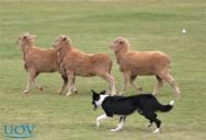 Confira cinco raças de cães ideias para pastoreio e guarda