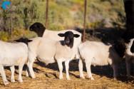 Ovelhas da raça Dorper são de fácil manejo e excelentes reprodutoras