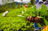 Plantas medicinais e condimentares: para quem vender?
