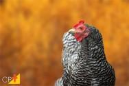 Dois motivos que causam a perda de penas das galinhas