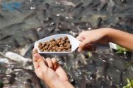Alimentação de peixes em tanques-rede
