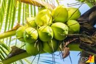 O cultivo e o mercado de coco verde