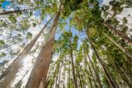 Qual tipo de eucalipto escolher?