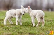 Cuidados com a gestação e com ovinos recém-nascidos