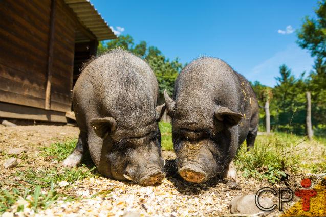 Criação de porcos ao ar livre ou em pocilgas, qual o melhor?   Artigos Cursos CPT